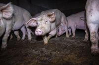 Nach Aufdeckung von Tierquälerei: VION und Tönnies nehmen keine Schweine mehr ab