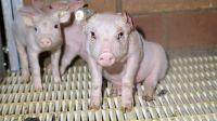 Staatsanwaltschaft Bielefeld ermittelt gegen Tönnies-Zulieferer wegen Tierquälerei