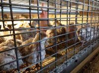 Verdeckte Videoaufnahmen belegen Tierquälerei in deutschen Wachteleier-Betrieben