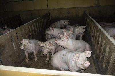 Aufgedeckt: Auch VION arbeitet mit der größten Schweinemast Niedersachsens zusammen