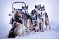 Mit Schlittenhundgespannen fahren die Teilnehmer der Polar Night Magic-Expedition durch Lappland. Bildnachweis: Visit Finland.