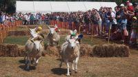 Sark Sheep Racing