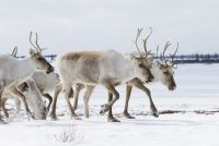 Spring Caribou Migration, Arctic Haven Wilderness Lodge, Nunavut. Bildnachweis: CTC/Nansen Webber