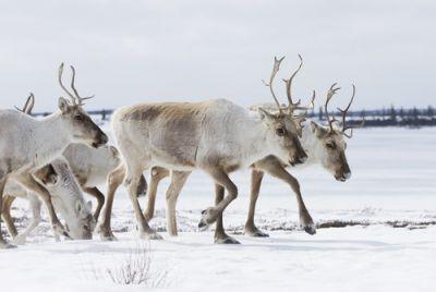 Spring Caribou Migration, Arctic Haven Wilderness Lodge, Nunavut. Bildnachweis: CTC/Nansen Webber