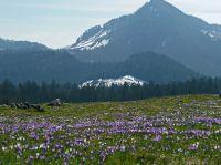Krokusblüte am Heuberg, © Chiemsee-Alpenland Tourismus