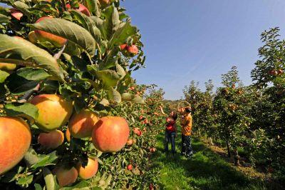 Altnau Apfelernte © Medienstelle-Thurgau-Tourismus