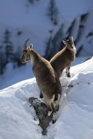 Steinböcke © Foto archivio Regione Autonoma Valle d'Aosta