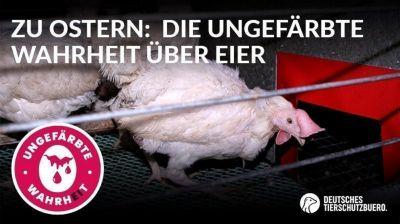 Deutsches Tierschutzbüro startet Online Kampagne - 20 Mrd. Eier werden in Deutschland pro Jahr gegessen
