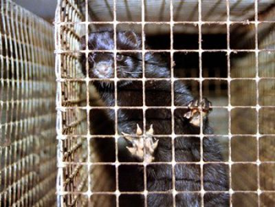 Arbeitskreis humaner Tierschutz e.V. stellt Strafanzeige gegen Nerzfarm in Borken