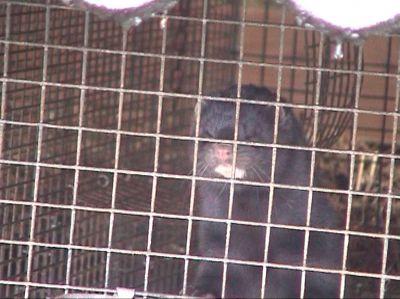 Arbeitskreis humaner Tierschutz e.V. stellt Strafanzeige gegen Nerzfarm in Gütersloh