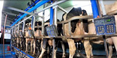 Aufgedeckt: Milchkühe getreten und geprügelt für Deutschlands größte Molkerei DMK - versteckte Kameras dokumentieren Tierquälerei