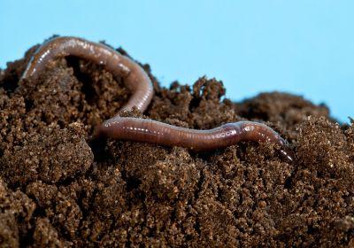 Aufgrund von Bodenversauerung immer seltener im Waldboden zu finden: tiefgrabende Regenwürmer. Foto: zest_marina / Fotolia