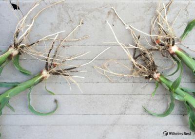 Die Jugendentwicklung beim Mais zeigt die bessere Verwurzelung durch Mykorrhiza.
