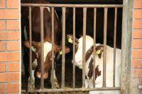 """In Gefangenschaft leidende Kühe aus der """"Nutztierhaltung"""""""