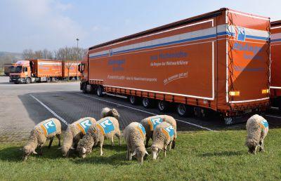 Acht Schafe sind die neuen Mitarbeiter in der Spedition Rüdinger in Krautheim, Hohenlohe. Foto: Peter Bach jr.