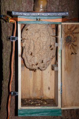 ein umgesiedeltes Hornissen Nest Ende Saison 2019