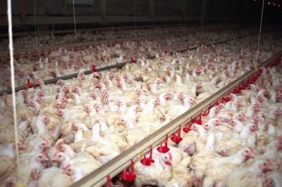 Über 100 Millionen Hühner leiden in Deutschland