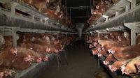 Biohaltung von Hühnern