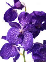 VANDA - das Juwel unter den Orchideen