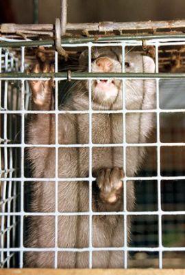 Arbeitskreis humaner Tierschutz: Aus für Nerzfarm in Nettetal (NRW)