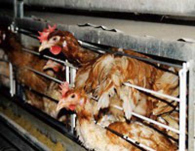 Deutscher Tierhilfe Verband: Zu Ostern gilt auch dieses Jahr: Augen auf beim Eierkauf!