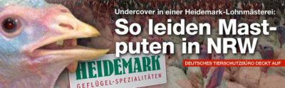 Deutsches Tierschutzbüro deckt auf: So leiden Mastputen in NRW