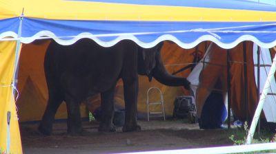 Tierquäler bei Circus Busch: Deutsches Tierschutzbüro erstattet Anzeige