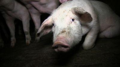 Landet Fleisch von gequälten Tieren in Berliner Metzgereien?