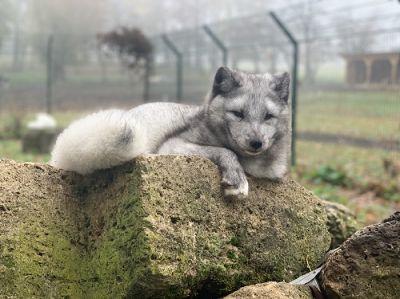 Mascha, die glücklichste und bekannteste Polarfüchsin Deutschlands genießt neues Leben fernab der Pelzindustri