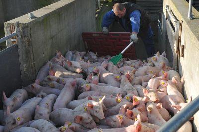 Schweinehochhaus knickt ein: Aufnahmen von brutaler Ferkelverladung dürfen weiterhin gezeigt werden