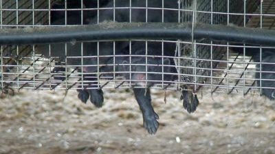 Tierschutzbüro: Anzeige gegen Nerzfarmen erstattet -Sommerhitze verursacht Tierleid auf Pelztierfarmen
