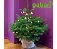gabari Bio-Weihnachtsbaum im Topf