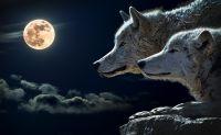 Wissen die Wölfe, daß Menschen laut Wolfsexperten nicht zu ihrem Beuteschema gehören?