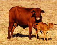 Brangus Rinder sind sehr beliebte Zuchttiere in Paraguay und bringen den deutschen Investoren gute Gewinne