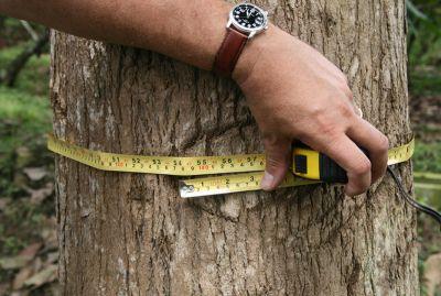 """Bereits nach etwa 20 Jahren kann ein Teakbaum """"geerntet"""" werden. Bild: Life Forestry Switzerland AG"""
